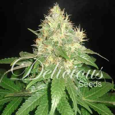 Northern Lights Blue - Feminized - Delicious Seeds