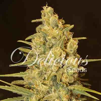 OG Kush Feminized - DNA Genetics Seeds